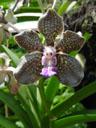 vanda mimi palmer. 2005-11-09, Sony Cybershot DSC-F717. keywords: purple orchid