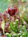 purple pitcher plant (sarracenia purpurea), flower