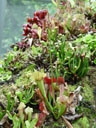 purple pitcher plant (sarracenia purpurea)