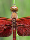 red dragonfly, closeup