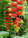 hanging lobster claw (heliconia marginata), closeup