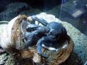 coconut crab (birgus latro). 2005-11-09, Sony Cybershot DSC-F717.