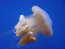 white-spotted jellyfish (phyllorhiza punctata). 2005-11-09, Sony Cybershot DSC-F717.