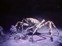 japanese giant spider crab (macrocheira kaempferi)