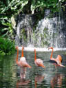 kuba-flamingos (phoenicopterus ruber ruber)