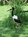 sattelstorch (ephippiorhynchus senegalensis)