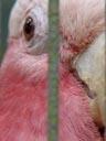 galah (eolophus roseicapillus) - facial feathers