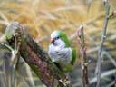 monk parakeet (myiopsitta monachus). 2005-11-11, Sony Cybershot DSC-F717.