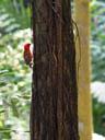 madagascar red fody (foudia madagascariensis). 2005-11-11, Sony Cybershot DSC-F717.