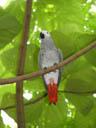 congo african grey parrot (psittacus erithacus ssp. erithacus