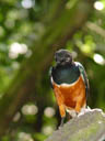 superb starling (lamprotornis superbus)