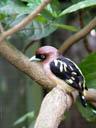 banded broadbill (eurylaimus javanicus)