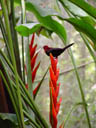 red bird, feeding on a heliconia
