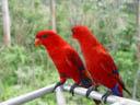 red lori (eos bornea). 2005-11-11, Sony Cybershot DSC-F717.