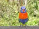 rainbow lori (trichoglossus haematodus). 2005-11-11, Sony Cybershot DSC-F717.