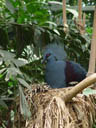 common crowned pigeon (goura cristata)