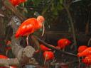 scarlet ibis (eudocimus ruber). 2005-11-11, Sony Cybershot DSC-F717.