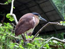 rotr&uuml;cken-nachtreiher (nycticorax caledonicus)