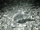 mousedeer (tragulus javanicus). 2005-11-13, Sony Cybershot DSC-F717. keywords: mouse deer chevrotain