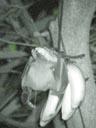 a little fruit bat, feeding on bananas. 2005-11-13, Sony Cybershot DSC-F717.
