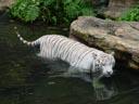 white tiger (panthera tigris tigris). 2005-11-12, Sony Cybershot DSC-F717.