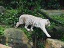 white tiger (panthera tigris tigris). 2005-11-12, Sony Cybershot DSC-F717. keywords: jumping tiger, leaping