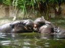 pygmy hippopotamus (choeropsis liberiensis). 2005-11-12, Sony Cybershot DSC-F717.