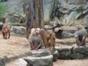hamadryas baboons (papio hamadryas). 2005-11-12, Sony Cybershot DSC-F717.