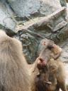 hamadryas baboon (papio hamadryas), baby