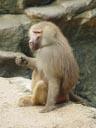 hamadryas baboon (papio hamadryas), enjoying a twig. 2005-11-12, Sony Cybershot DSC-F717.