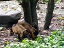 brown capuchin monkeys (cebus apella). 2005-11-12, Sony Cybershot DSC-F717. keywords: capuchin monkey gehaubter kapuziner