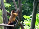 brown capuchin monkey (cebus apella). 2005-11-12, Sony Cybershot DSC-F717. keywords: kapuziner