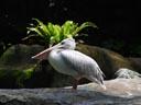 pink-backed pelican (pelecanus rufescens?). 2005-11-12, Sony Cybershot DSC-F717.