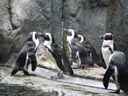 some jackass penguins (spheniscus demersus). 2005-11-12, Sony Cybershot DSC-F717.