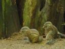 south african ground squirrels (xerus inauris). 2005-11-12, Sony Cybershot DSC-F717.