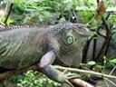 green iguana (iguana iguana?). 2005-11-12, Sony Cybershot DSC-F717.