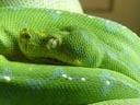 green tree python (morelia viridis). 2005-11-12, Sony Cybershot DSC-F717. keywords: snake, schlange