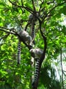 ring-tailed lemur butts (lemur catta)