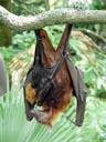malayan flying fox (pteropus vampyrus), with pup