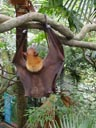 malayan flying fox (pteropus vampyrus), peeing