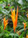 parakeet flower (heliconia psittacorum). 2005-11-12, Sony Cybershot DSC-F717.