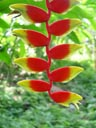 hanging lobster claw (heliconia rostrata or h. marginata)