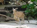 barbary sheep (ammotragus lervia). 2005-11-12, Sony Cybershot DSC-F717.