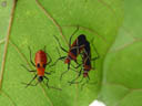 cotton stainer bugs (dysdercus decussatus) - juvenile and two adults