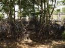 mangroves. 2005-11-13, Sony Cybershot DSC-F717.
