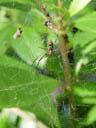 golden web spider (nephila maculata). 2005-11-13, Sony Cybershot DSC-F717.