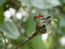cotton stainer bug, juvenile (dysdercus decussatus)
