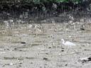 little egret (egretta garzetta). 2005-11-13, Sony Cybershot DSC-F717.