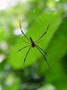golden web spider (nephila maculata)