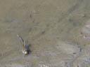 giant mudskipper (periophthalmodon schlosseri). 2005-11-13, Sony Cybershot DSC-F717.